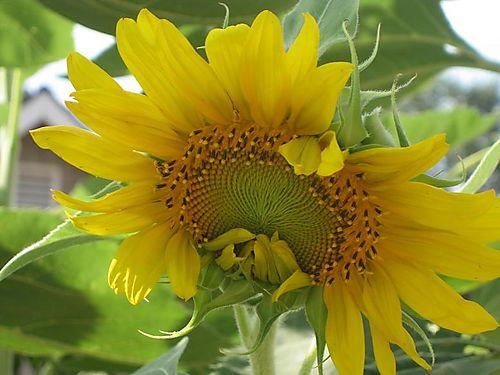 Sunflowersmall1