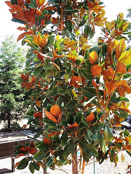 Magnolia 001smallHL