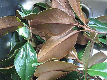 Magnolia 002small