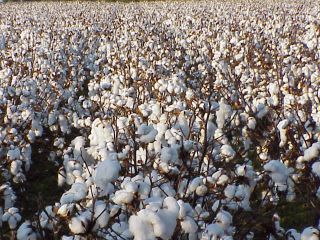 Cotton%20field