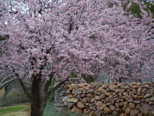 BlossomsCV 016small