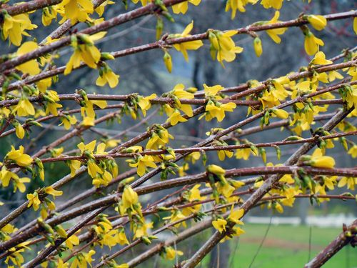 BlossomsCV 010small