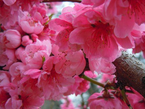 BlossomsCV 007small