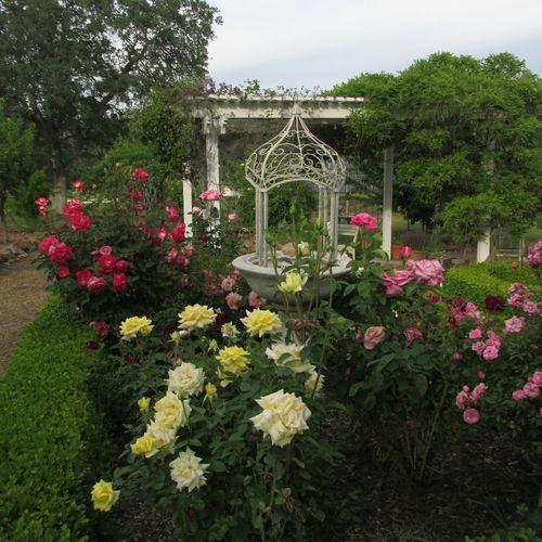 Garden roses and fountain