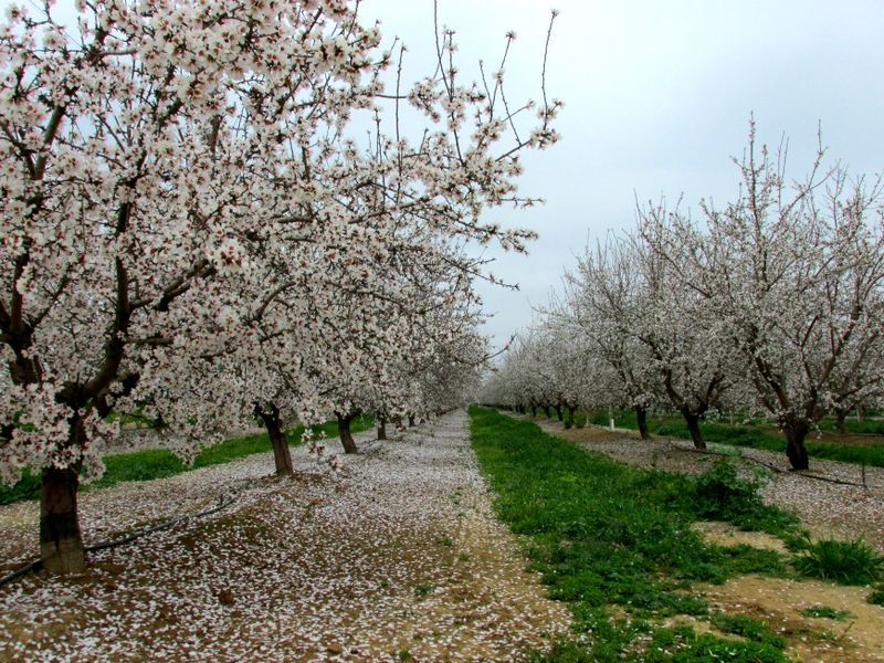 Almond blossoms IMG_6292