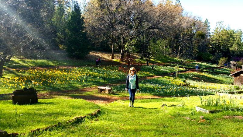 Sandi daffodil hill