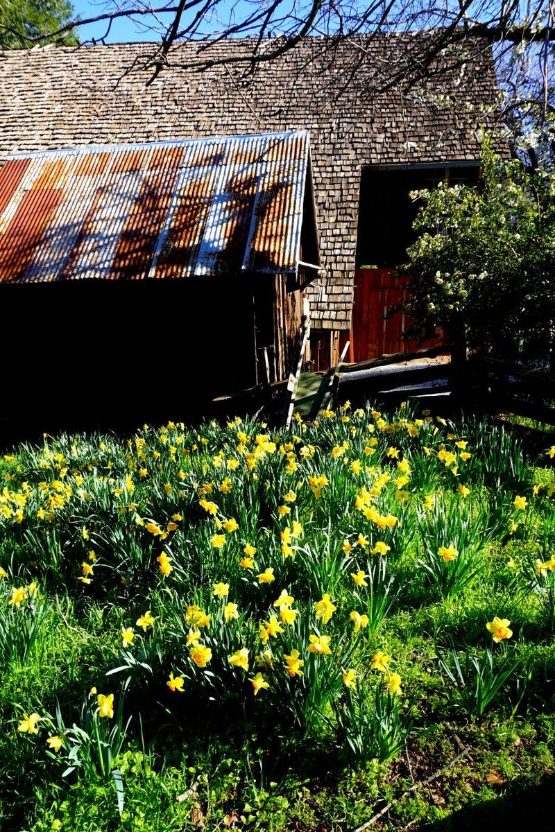 Daffodil DSC00229