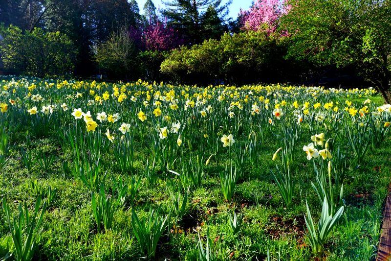 -Daffodil DSC00232