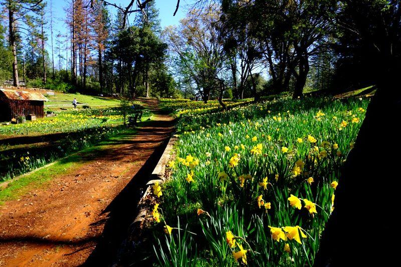 Daffodil DSC00250