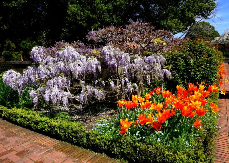 DSC00327 wisteria and orange tulips