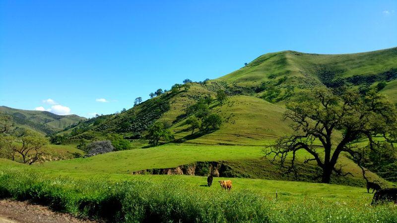 Poppy hill ca. happy cows