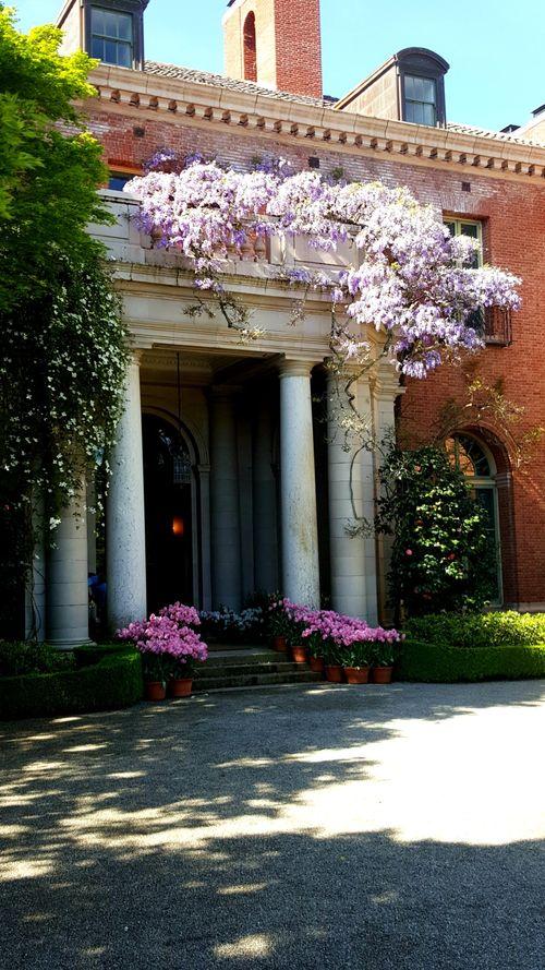 Filoli wisteria