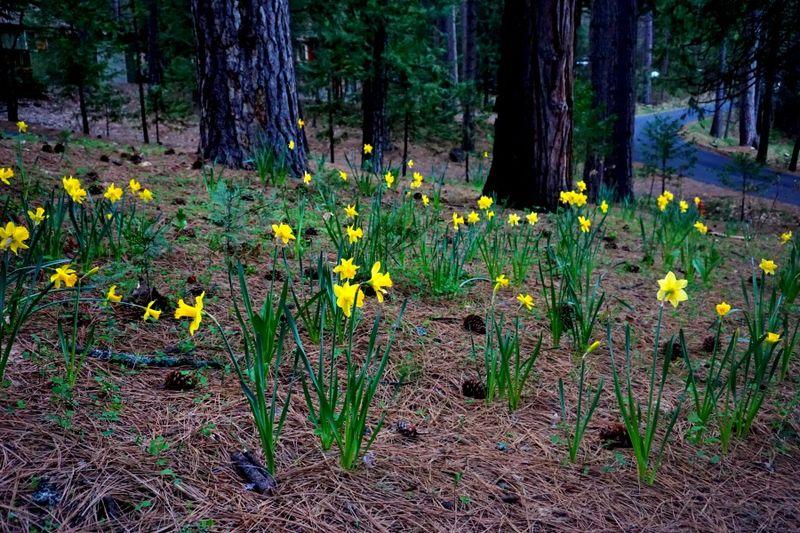 Cabin daffodil day daffodils