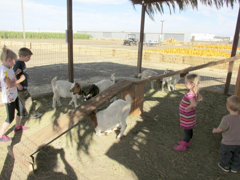 Corn maze goats