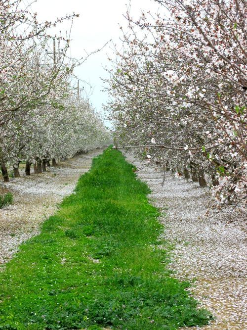 Almond blossoms IMG_6290