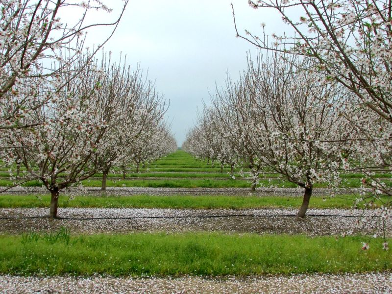 Almond Blossoms IMG_6288