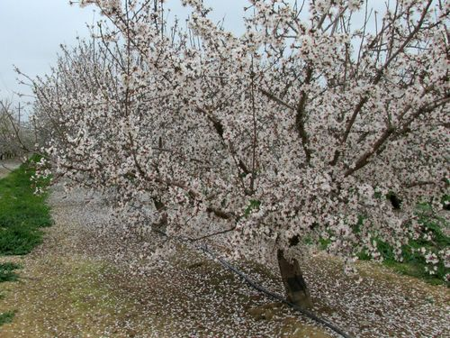 Almond blossoms IMG_6289