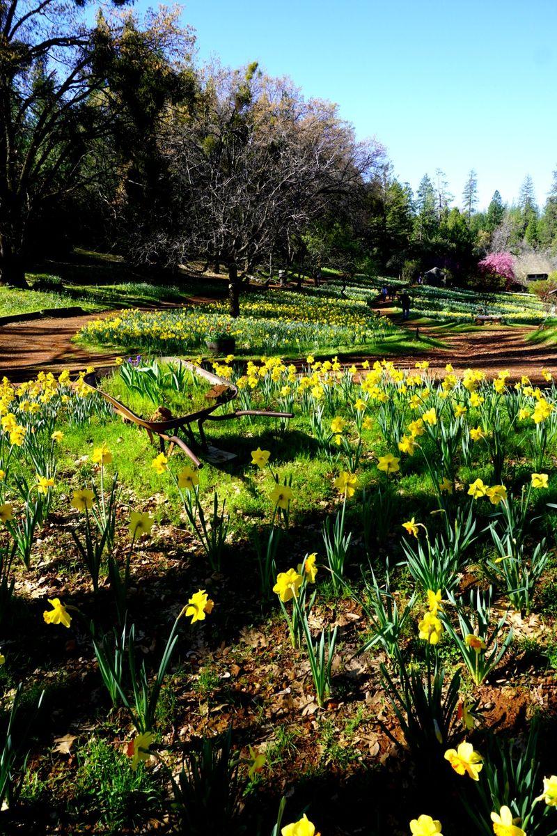 -Daffodil DSC00242