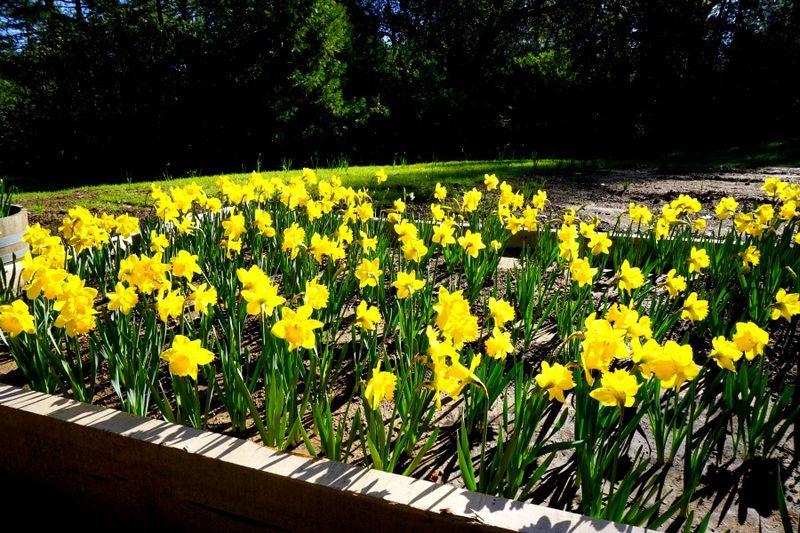 -Daffodil DSC00243