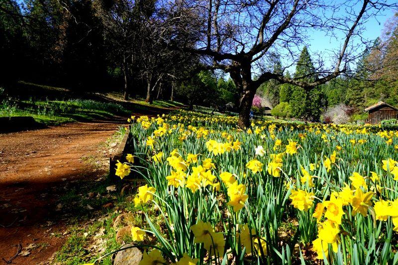 -Daffodil DSC00247