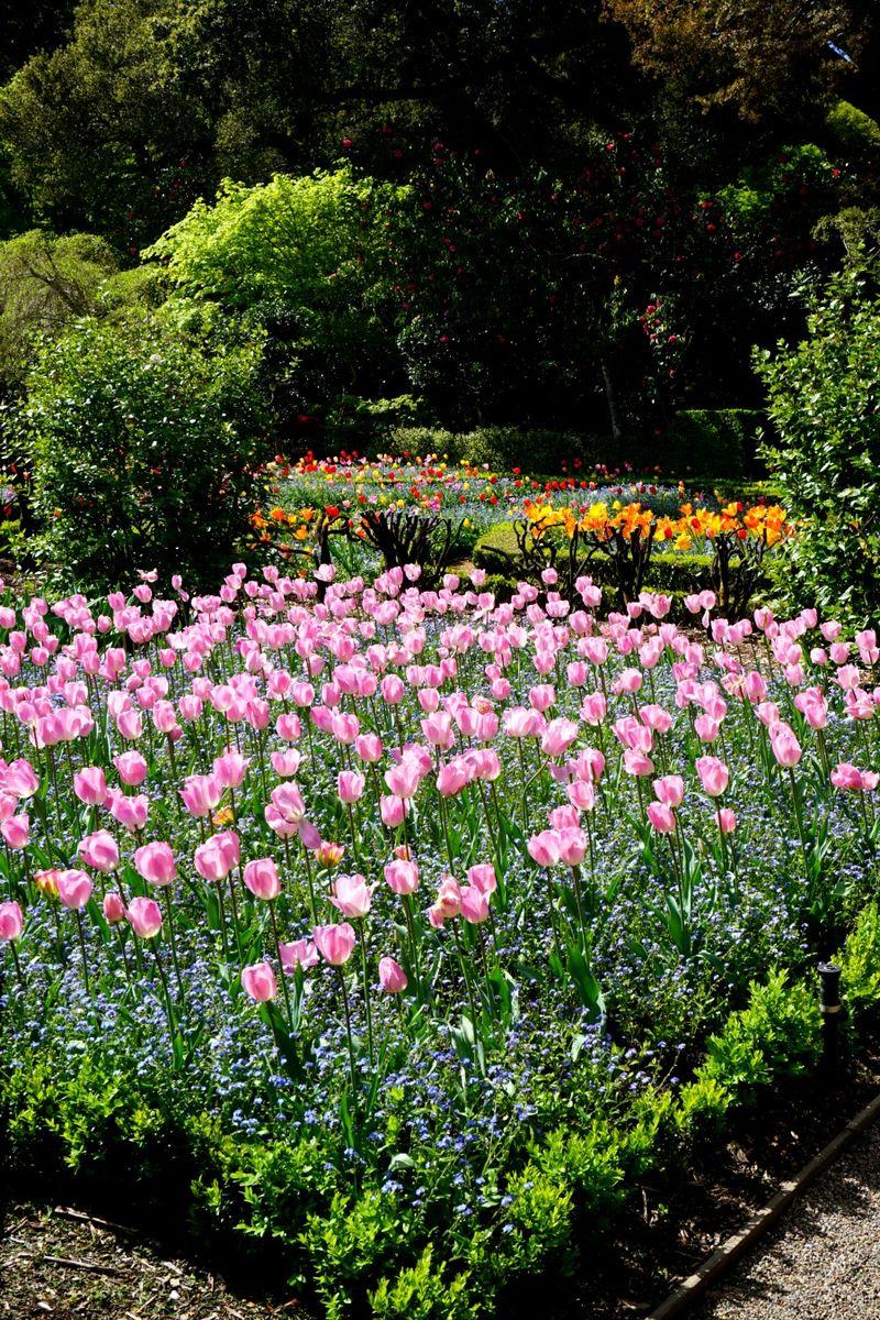 DSC00306 pink tulips