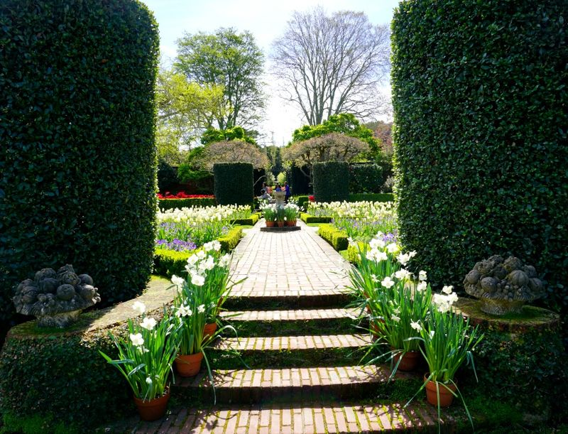 DSC00308 brick pathway white tulips