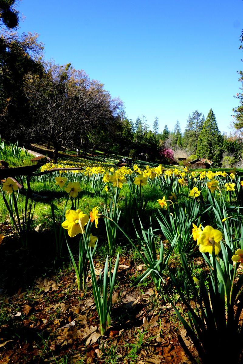 -daffodil DSC00241