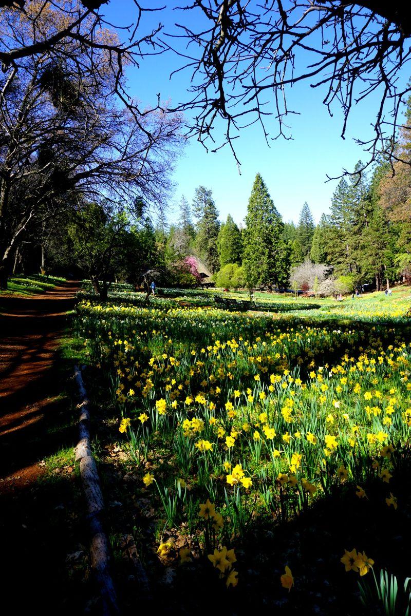 -daffodil DSC00249