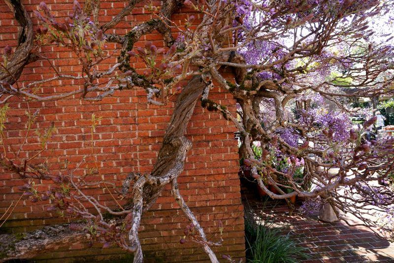 DSC00296 wisteria twisted