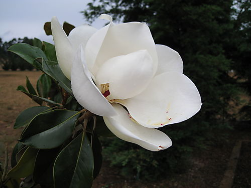 Magnolia- May 24, 2008