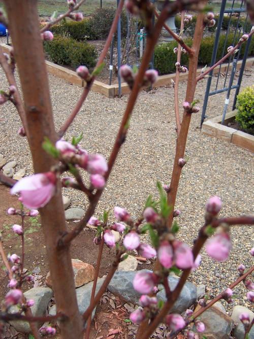Nectarine  February 2008